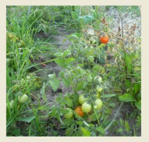 взрослые томаты