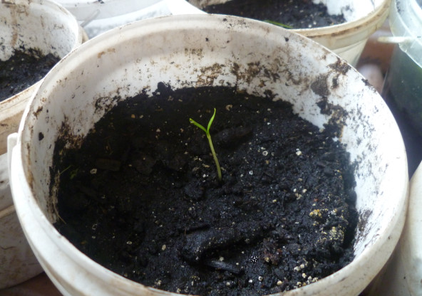 росток перца