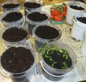 подготовка к пикировке томатов