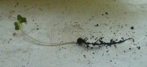 корень рассады капусты