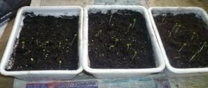 всходы рассады капусты