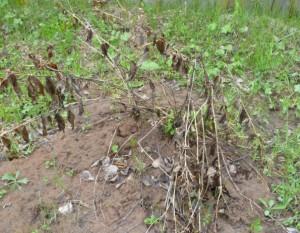 стебли флоксов