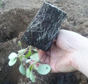 ком земли с рассадой капусты