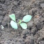 высадка капусты