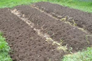 посадка чеснока на гряды