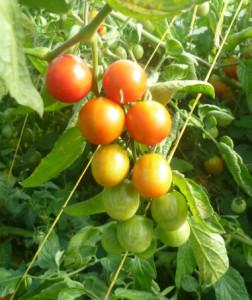 tomat-umelec