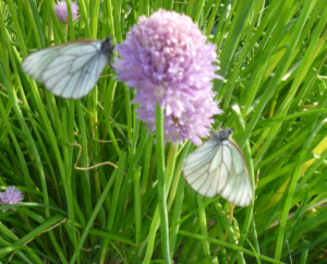 бабочки на луке
