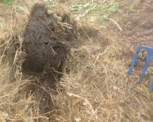 прелая трава в теплице