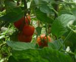 tomat-2013