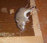дохлая мышь