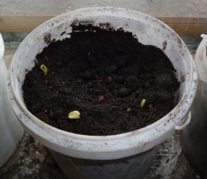 ростки перца в горшке