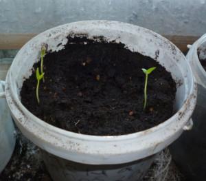ростки перца