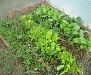 зелень и редис в теплице