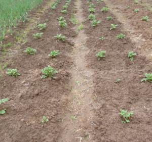 картофель на грядах