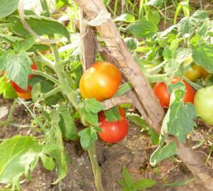 томат бетта