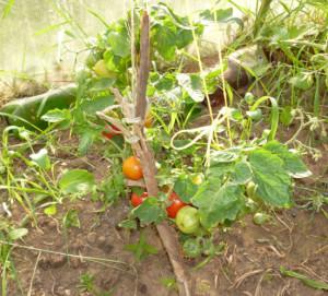 плоды на томате бетта