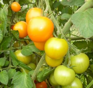 томат желтая вишня