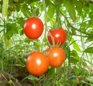 томат умелец