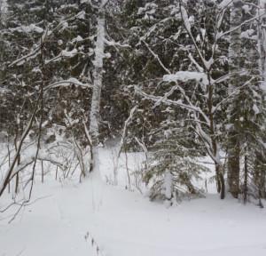 красивый лес зимой