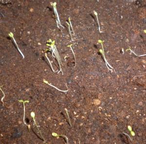 ростки земляники
