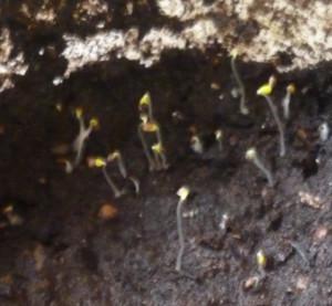 семена земляники проросли