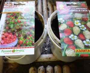 semena-zemljaniki