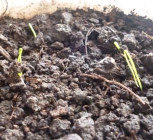 ростки лука-батуна